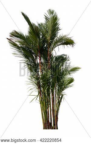 Object Of Sealing Wax Palm, Lipstick Palm, Raja Palm, Maharajah Palm Tree. On Isolated White Backgro