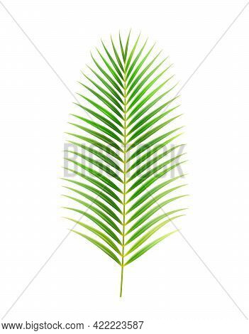 Exotic Foliage And Decoration Of Jungles And Rainforests, Isolated Palm Tree Leaf. Straight Flora Of