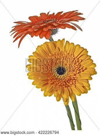 two gerbera flowers isolated on white background