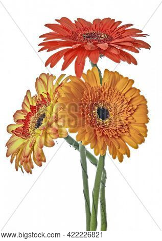 three gerbera flowers isolated on white background