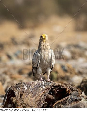 Egyptian Vulture Or Neophron Percnopterus Perched On Carcass Of A Animal In Clean Background At Jorb
