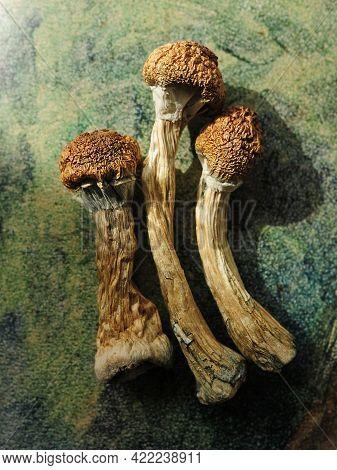Psilocybe Cubensis Mushrooms Isolated On Green Background. Psilocybin Psychedelic Magic Mushrooms Go
