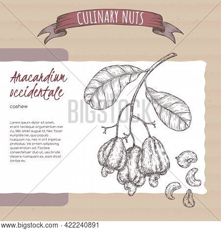 Anacardium Occidentale Aka Cashew Branch And Nuts Sketch On Cardboard Background. Culinary Nuts Seri