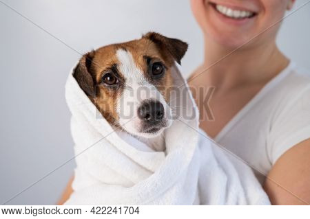Woman Wipes Jack Russell Terrier With A Towel After Washing On A White Background. The Groomer Dries