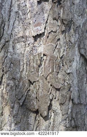 Turkish Hazel Bark Detail - Latin Name - Corylus Colurna