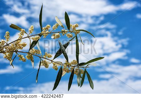 Close Up Of An Olive Branch With Blue Sky Background With Clouds, In Spring In The Flowering Period.
