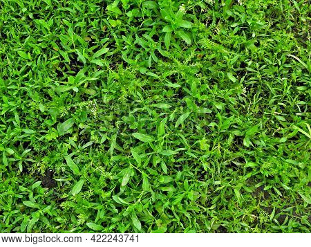 Grass Background. Fresh Texture Of Lawn Grass. The Perfect Green Grass Rug. Grass Background For You