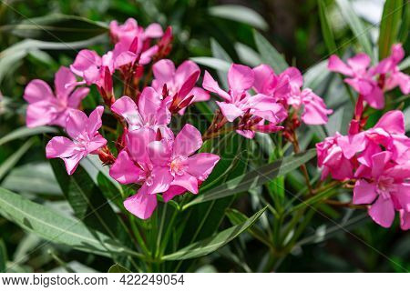 A Lovely Pink Oleander Set Against A Backdrop Of Lush Southern Greenery. Close-up, Selective Focus