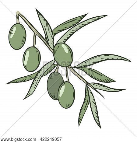 Branch With Green Olives, Vector. The Collected Fruits Of The Olive Tree. Oilseeds. Hand Drawing.
