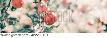 Ripe Red Apples On Branches In Orchard Garden. Sweet Fruits Hanging On Apple Trees At Farm. Eco Natu