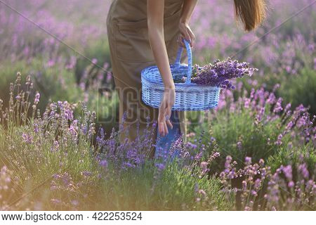Unrecognizable Young Woman Wearing Farm Uniform Collecting Lavender Harvest In Summer Sunset. Crop O