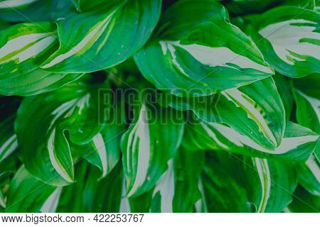 Contrast In Nature. White Green Leaves Hosta On The Plant.