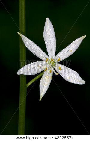 White Flower Allium Ursinum