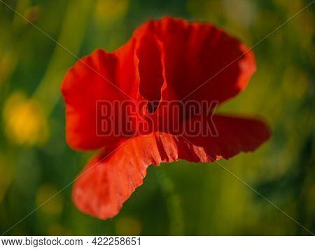 Poppy, Flower Red Field. Wild Red Poppy. Red Poppy One.