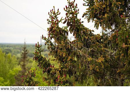Young Red Cones For A Large Spruce, Top Of The Spruce, In Height