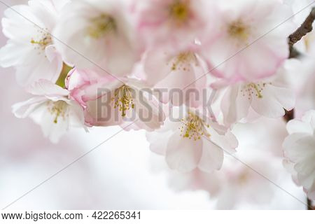 Sakura Pink Flowers, In Spring, Flowering Tree