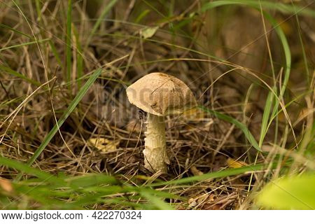 Cute Penny Bun Mushroom Is Growing In The Grass. The Beautiful Small Brown Cap Of A Cep Is In The Fo