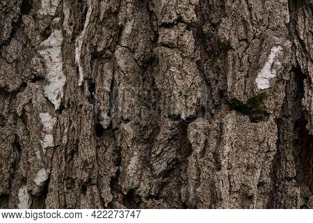 Texture Of Deeply Cracked Bark Of A Really Old Birch Tree As Background.