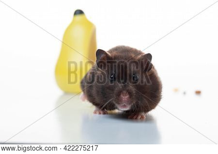 Macro Photo Of A Hamster. Curious Hamster. The Hamster Creeps Forward.