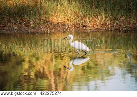 Goa, India. White Little Egret Catching Fish In River Pond.