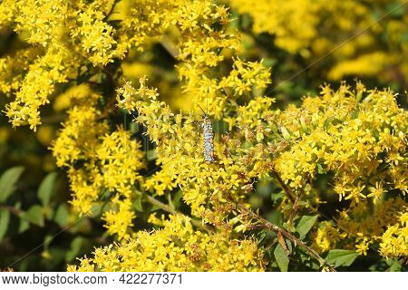 Ailanthus Webworm Moth Foraging On Bright Yellow Goldenrod Flowers In Eastern Neck National Wildlife