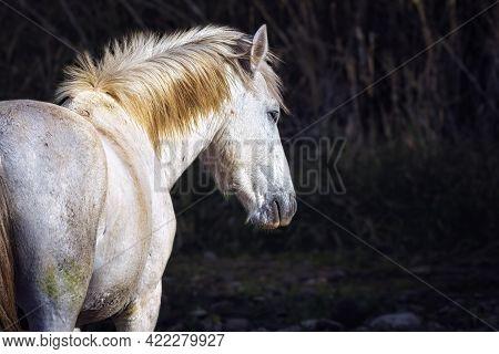Salt River Wild Horses In Tonto National Forest Near Phoenix, Arizona.