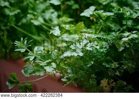 Parsley Grows At Balcony Flowerpots. Vegetable Garden At Home. Seasonal Greenery Grows At Balcony Fl