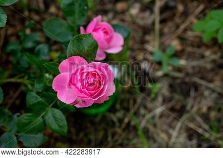 Pink Rose. Card By Mothers Day. Beautiful Pink Rosebush In The Garden On A Sunny Day. Pink Rose Buds