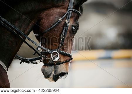 Equestrian Sport. Portrait Sports Brown Stallion In The Bridle.  Equestrian Sport, Jumping. Overcome