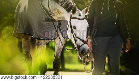 A Beautiful White Horse With A Gray Mane In A Gray Blanket Walks With A Horse Breeder On A Sunny Sum