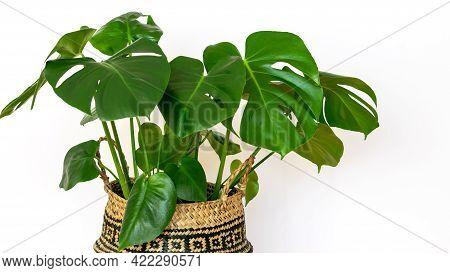 Tropical Planta Monstera Deliciosa On The White Wall Background. Monstera Deliciosa Closeup As Plant