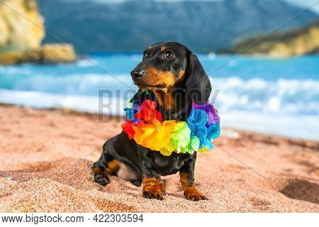 Funny Dog Dachshund, Black And Tan, Sit Sand At The Beach Sea On Summer Vacation Holidays, Wearing F