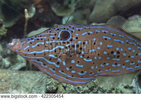 Scrawled Filefish On Coral Reef Off The Tropical Island Of Bonaire In The Caribbean Netherlands.