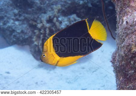 Rock Beauty Angelfish On Coral Reef Off The Tropical Island Of Bonaire In The Caribbean Netherlands.