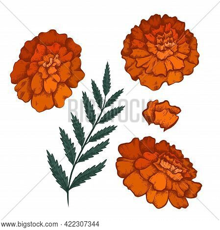 Set Of Colorful Botanical Sketch Of Various Marigold Flowers With Shading. Vector Color Floral Natur