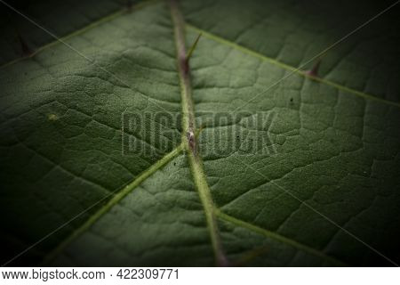 Leaf Closeup Showing Its Defensive Thorns An Spikes For Protection From Animals And Insets Wanting T