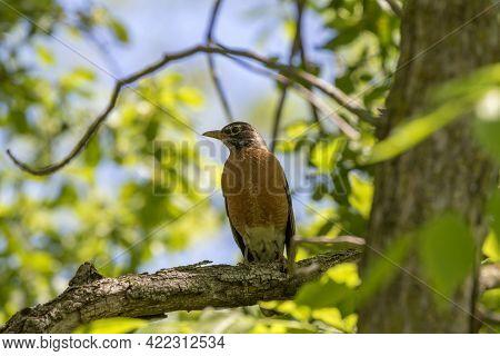 The American Robin (turdus Migratorius) Is A Migratory Songbird,  State Bird Of Connecticut, Michiga