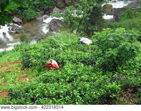 Nuwara Eliya, Sri Lanka - 08 Jan 2011: The Woman On The Tea Plantation, Nuwara Eliya, Sri Lanka