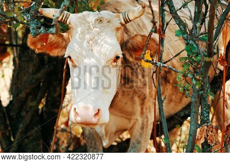 Cow With Ear Tags. Bovine Was Stuck In The Trees. Close Up. Curious Horned Pet. Domestic Farm Animal