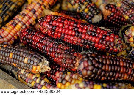 Colored Corn Cobs.cereals And Grain Culture. Multicolored Corn Background.variegated Corn Texture. C