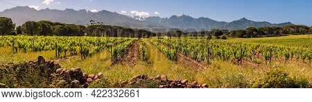 Panoramic View Of Rows Of Vines In A Vineyard At Calvi In The Balagne Region Of Corsica With Snow Ca