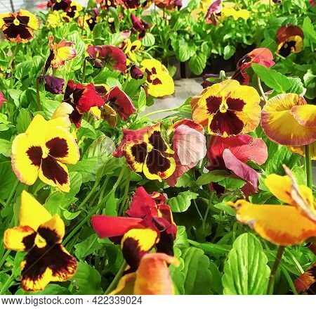 Garden Pansies With Yellow, Bard And White Petals. Hybrid Pansies Or Tricolor Viola Pansies. Yellow