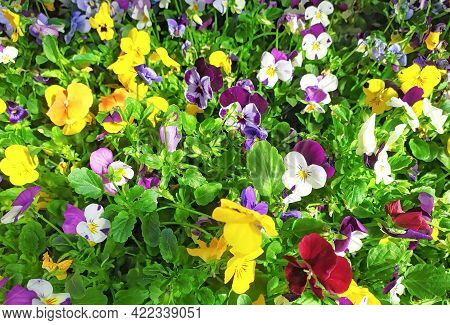 Mix Difference Colour Of Pansy Flower, Viola, Spring Flower.