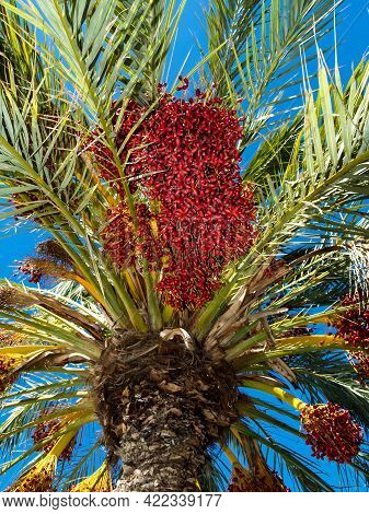 Ripening Dates In Plantation Of Date Palms. Fruits Of Dates Have Important Place In Industrial Deser