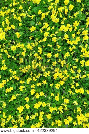 Garden Pansies With Yellow Petals In The Greenhouse. Hybrid Pansies Or Tricolor Viola Pansies. A Lar