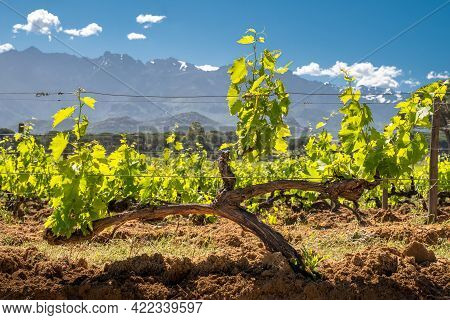 Twisted Stem And Young Shoots Of A Vine In A Vineyard At Calvi In The Balagne Region Of Corsica With
