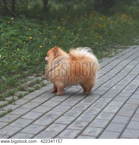 A Small Red Fluffy Dog Pomeranian Pomeranian Bear Boo Stands On The Path Side View. Concept Of Pet,