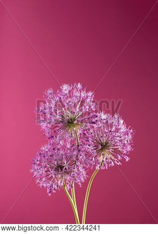 Beautiful Allium Flower Against A Purple Background. Allium Or Giant Onion Decorative Plant On A Flo