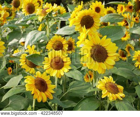 Sunflower Natural Background. Sunflower Blooming In Agriculture Field.