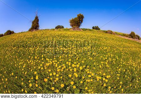 Israel. Field of blooming daisies in the bright southern sun. Magnificent blooming spring. Spring bloom of the Negev Desert
